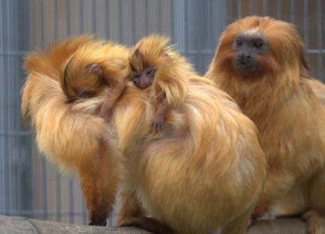 babymonkeys1