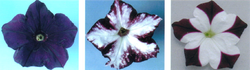 Example petunia plants in which genes for pigmentation are silenced by RNAi. (http://en.wikipedia.org/wiki/Rnai)